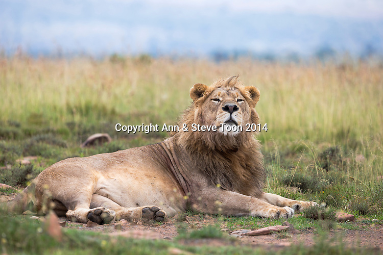 Lion (Panthera leo)l, Mountain Zebra National Park, Eastern Cape, South Africa , February 2014