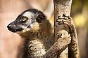 Red fronted brown lemur {Lemur fulvus rufus}, Kirindy forest, West Madagascar