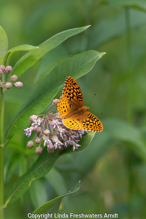 Great spangled fritillary on milkweek