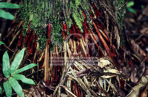 Amazon, Brazil. Bright red roots at the base of a tree in the forest.