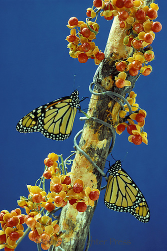 Monarch butterflies on bittersweet branch with berries
