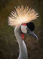 Grey Crowned Crane, Balearica regulorum. Birds at the Wildlife and Bird Sanctuary Langkawi, Malaysia