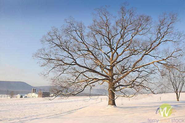 Oak tree in winter with swing