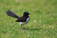 Willie-wagtail (Rhipidura leucophrys leucophrys) foraging in the grill in Rymill Park, Adelaide, South Australia.