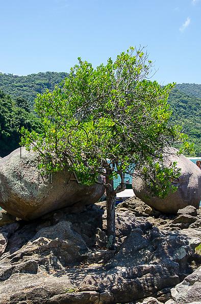 Árvore entre rochas na piscina natural do Cachadaço, Vila de Trindade - Paraty- RJ, 12/2013.
