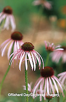 63821-053.09 Pale Purple Coneflowers (Echinacea pallida) in garden, Marion Co.  IL