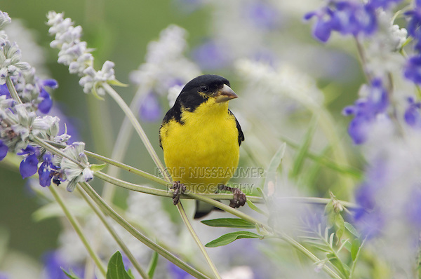 Lesser Goldfinch, Carduelis psaltria, black-backed male on Mealy sage (Salvia farinacea), Uvalde County, Hill Country, Texas, USA, April 2006