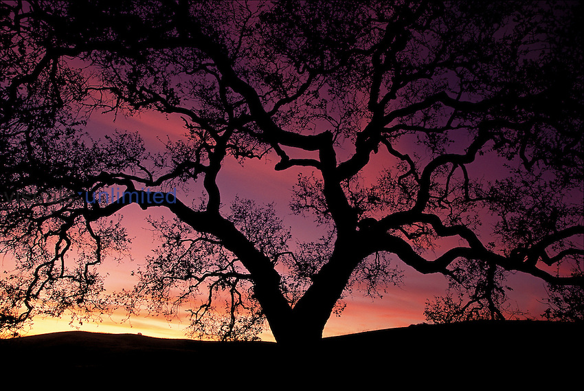 Oak tree silhouette at twilight, California, USA