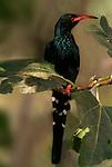Marwitz s Green Wood Hoopoe, Phoeniculus purpureus marwitzi, Tanzania, .Africa....