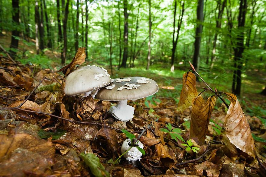 Pantherpilze, Amanita pantherina, im Buchenwald, Morske Oko Reservat, Ost-Slowakei / mushrooms in Beech forest, Amanita pantherina, Morske Oko Reserve, East Slovakia