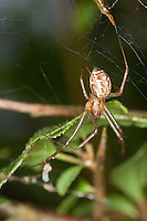 Gemeine Baldachinspinne, Baldachin-Spinne im Netz, Linyphia triangularis, European sheet-web spider, Money Spider, sheet-web weaver, line-weaving spider, line weaver