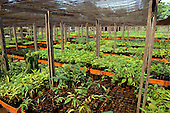 Trombetas, Para State, Brazil. Nursery for rainforest reforestation programme; Trombetas bauxite mine.