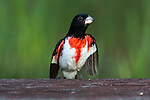 Male rose-breasted grosbeak in courtship display