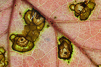 Mapleleaf Viburnum; Viburnum acerifolium; insect damage to leaf; autumn; DE, New Castle County, Blackbird State Forest