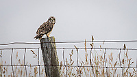 Hawai'i's native short-eared owl, the pueo, stares intently at the viewer while waiting for a mouse to scurry by, Waimea (a.k.a. Kamuela), Big Island.