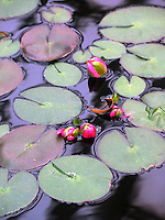 Lily pads bloom in a reflecting pool at the 100-year-old Marjorie McNeely Conservatory. Photo by Brad Stauffer