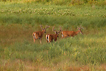 White-tailed bucks in velvet