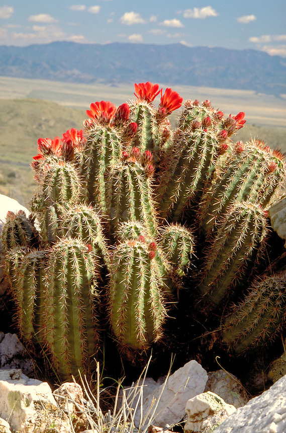Claret-Cup Hedgehog Cactus, Echinocereus triglochidiatus. . Claret-Cup Hedgehog Cactus. Arizona.