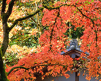 Japanese Tea House (chashitsu) named Kashin-Tei or the Flower Heart House roof with a demon tile is framed by the Fall colors of red, orange and yellow of the Japanese Maple trees at the Portland Japanese Garden
