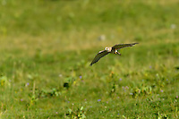 A common Kestral low in flight over a green field