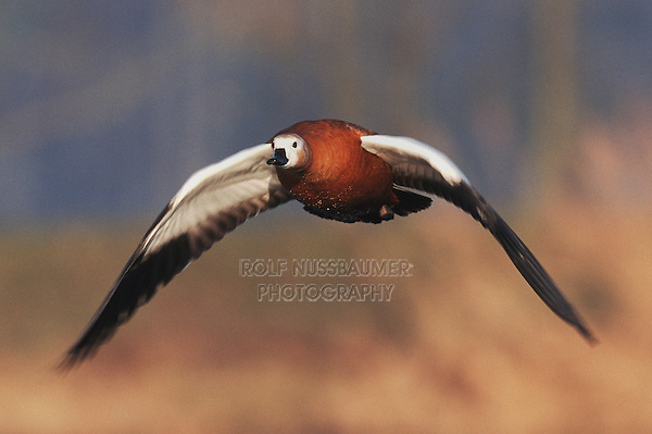 Ruddy Shelduck (Tadorna ferruginea), adult in flight, Switzerland