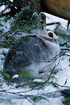 Snowshoe Hare, Lepus americanus, October, subalpine, Rocky Mountain National Park, Colorado, Rocky Mountains, USA