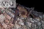 A Townsend's Big-Eared Bat (Plecotus townsendii) Burro Mountains, Southwest New Mexico, USA