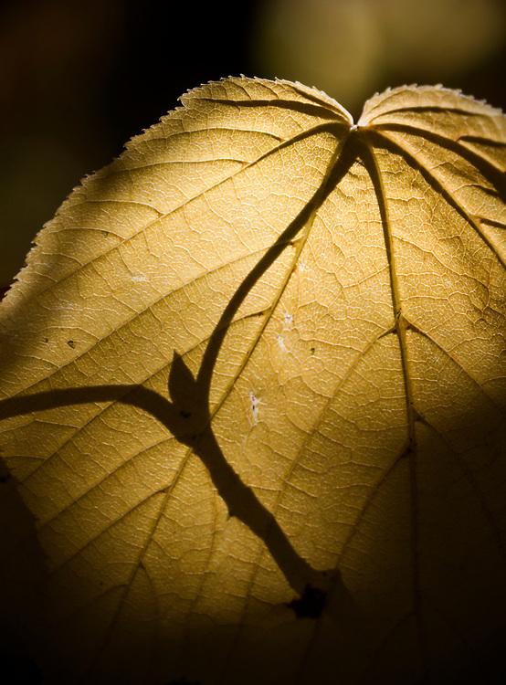 The shadow of a fresh bud appears on a beech leaf in Acadia National Park, Maine, USA