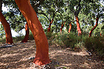 Red tree trunks freshly harvested bark Quercus suber, Cork oak, Sierra de Grazalema natural park, Cadiz province, Spain