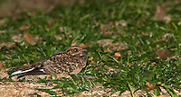 The Common pauraque is a nocturnal bird similar to a nightjar.