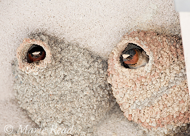 Cliff Swallows (Petrochelidon pyrrhonota) looking out  of their nests constructed of mud pellets, Mono Lake Basin, California, USA