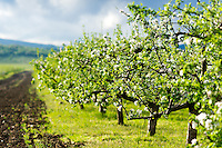 Close view of blossoming apple trees