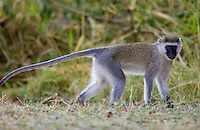 Vervet Monkey (Green Monkey), Grumeti, Tanzania