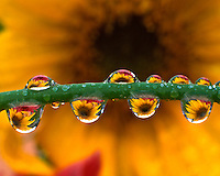 Sunflower reflecting in dewdrops clinging to grass in Portland, Oregon