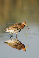 Black-tailed Godwit, Limosa limosa, National Park Lake Neusiedl, Burgenland, Austria, April 2007
