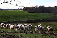 A characteristic picture of the Agro Romano in the winter, with a herd of sheep (two of them are looking just at the camera) grazing the grass of a meadow, with an enclosure and some bare trees and bushes in the foreground in the sun light of the late afternoon.  Natural Reserve of the Marcigliana, near to the Nomentana, at the border of Rome. Digitally Improved Photo.