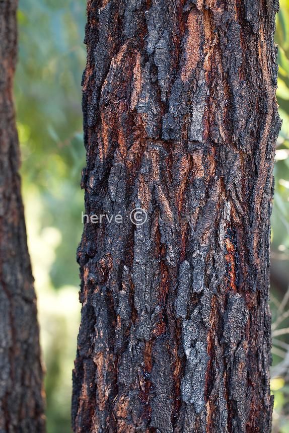 Domaine du Rayol en novembre : dans le jardin d'Australie écorce comme brulé de l'Eucalyptus sideroxylon, l'eucalyptus à écorce de fer, Ironbark rouge ou mugga.