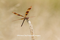 06579-00608 Halloween Pennant dragonfly (Celithemis eponina) male perched near wetland, Marion Co., IL