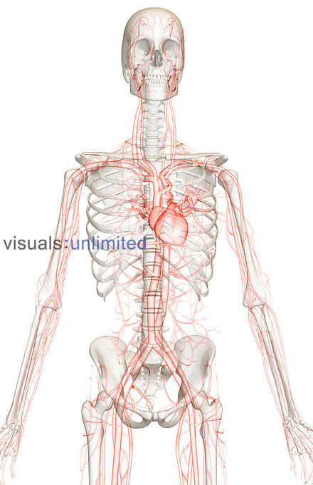 An anterior view of the blood vessels of the upper body relative to the skeleton. Royalty Free