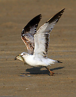 First summer ring-billed gull carrying fish