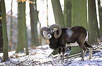 Mufflon, Männchen, Widder, Bock, Muffelwild, Muffel-Wild, Muffel, Ovis musimon, Ovis aries musimon, Ovis gmelini musimon, mouflon