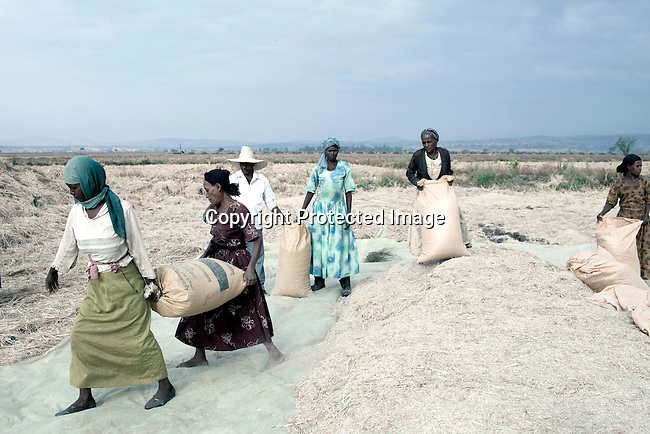 BAKO, ETHIOPIA - MARCH 10: Workers harvest rice on a farm leased by the Ethiopian government to the Indian company Karuturi Global Limited on March 10, 2011 in Bako, Ethiopia. Photo by: Per-Anders Pettersson
