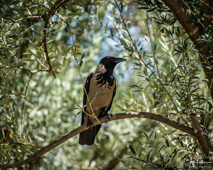 A Hooded Crow, Corvus cornix, on the Mount of Olives in Jerusalem.  The Hooded Crow is a Eurasian bird species widely distributed in Northern, Eastern, and Southeastern Europe and parts of the Middle East.  It is also called the Scotch Crow, the Danish Crow, the Grey Crow and in Germany, the Mist Crow.