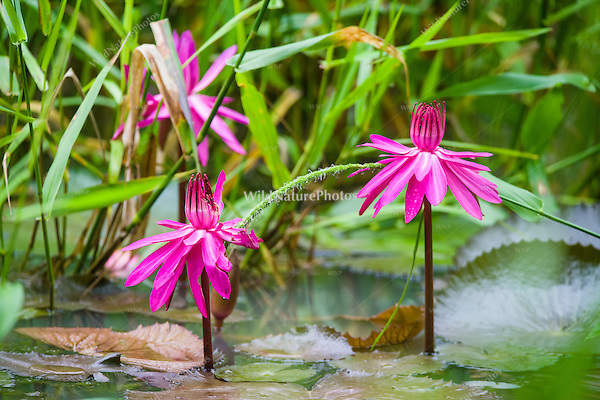 Beautiful blooming water lilies at Hacienda Cortina, Pinar del Rio, Cuba.