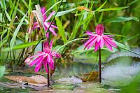 Beautiful blooming water lilies at Hacienda Cortina, Pinar del Rio, Cuba.