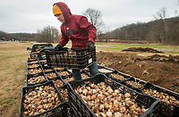 NWA Democrat-Gazette/BEN GOFF @NWABENGOFF<br /> Jose Anzora with Fresh-N-Green Landscape Company based in Springdale unloads daffodil bulbs from a truck Tuesday, Dec. 4, 2018, at Lake Bella Vista Park in Bentonville. A Walton Family Foundation grant at the recommendation of Steuart Walton is supporting a beautification project to plant 300,000 daffodil bulbs at sites in Bentonville this week. The 300,000 bulbs include 20 varieties of daffodils. Sites to be planted include the North Bentonville trail, sites on the Razorback Regional Greenway, the Seed Tick Shuffle trail at Slaughter Pen, the traffic circle on John DeShields Boulevard and Orchards Park.