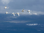 Spring Migration of Tundra Swans (Cygnus Columbianus) over Kootenai National Wildlife Refuge near Bonners Ferry, Idaho