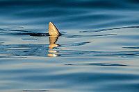 shortfin mako shark, Isurus oxyrinchus, dorsal fin, Long Beach, California, USA, Pacific Ocean