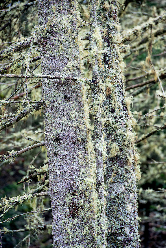 Tree moss on spruce trunks, Usnea.