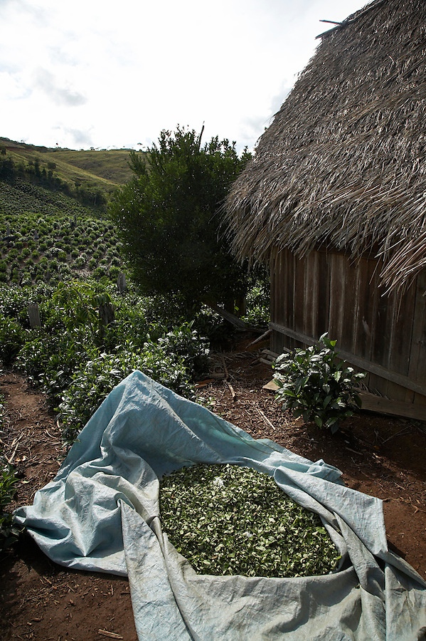 Coca leaves drying at a tea plantation near the village of Chimate in the Yungas region of Bolivia.
